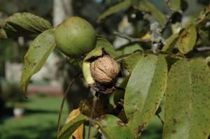 Asturias, frutos secos